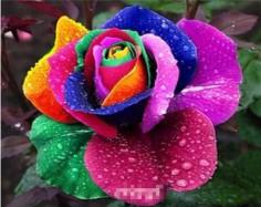Rainbow Roses 100 Piece